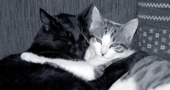 Comment se faire rencontrer deux chats ? Créer de la cohésion !! Absolument Chats