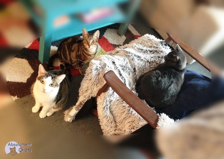 vivre avec 3 chats_ Absolument Chats