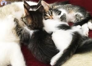 chatons-tetent-leur-mere-2