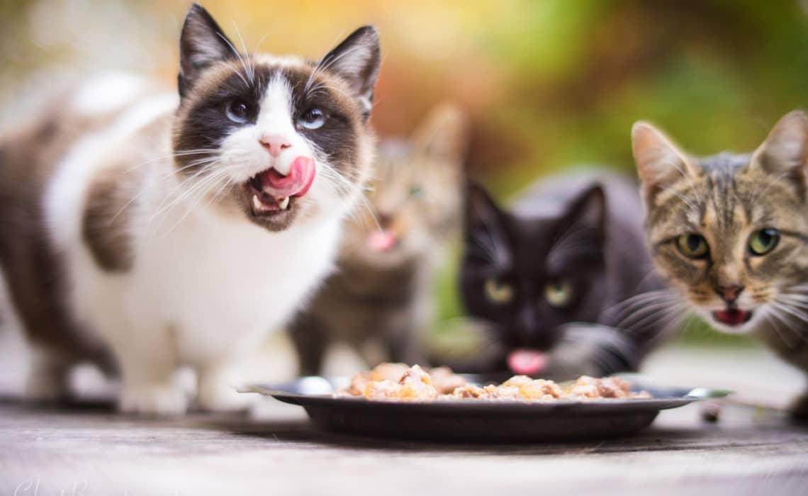 comment faire maigrir son chat - absolument chats
