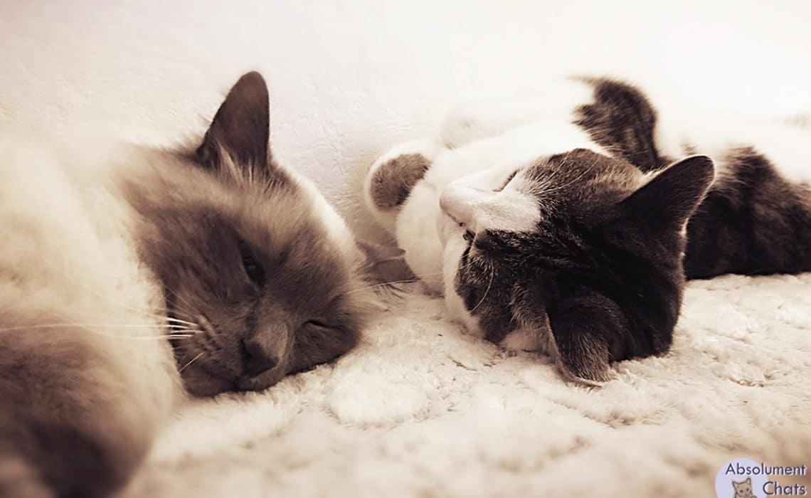 cohabitation entre chats-absolument chats
