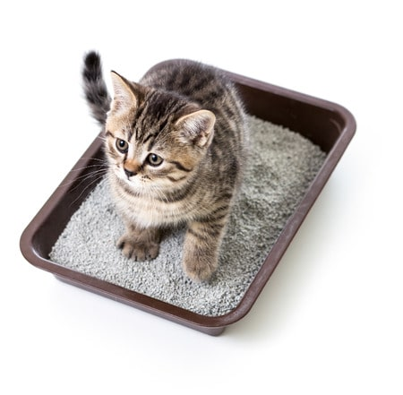 25115111 - kitten or cat in toilet tray box with absorbent litter isolated