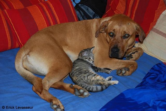 la cohabitation entre chien et chat absolument chats. Black Bedroom Furniture Sets. Home Design Ideas