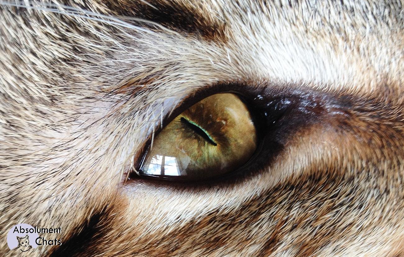 Comment voit le chat absolument chats - Mes chats ont des puces ...