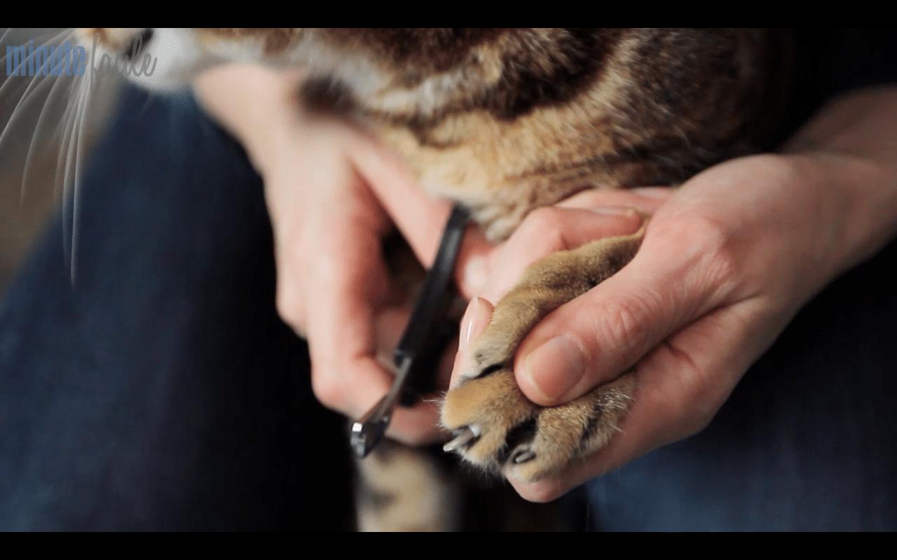 Comment couper les griffes de son chat absolument chats - Comment couper les griffes de son chat ...